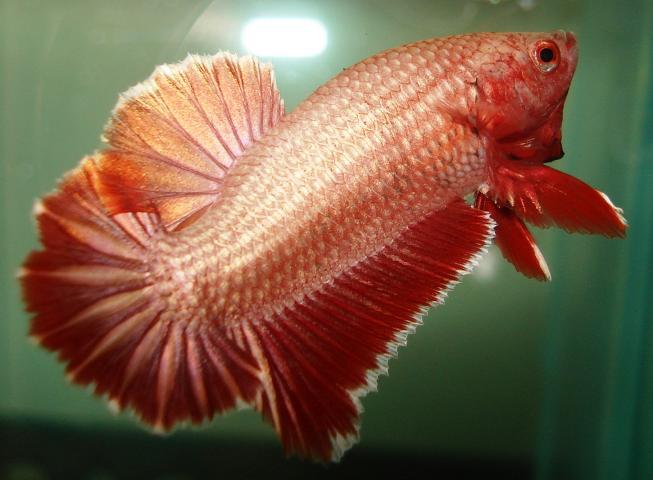 Mataheulang Dot Com Macam Macam Jenis Makanan Ikan Cupang