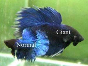 "jenis ikan cupang ""giant"""