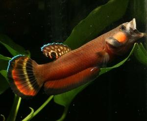 """Jenis ikan cupang alam """"Betta Macrostoma"""""""